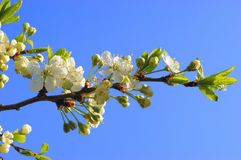 Cherry blossom Stock Photography