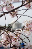 Cherry Blossom. The Jefferson monument of Washington DC in the background of the Cherry Blossom Royalty Free Stock Photo