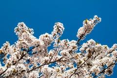 Cherry Blossom Imagens de Stock