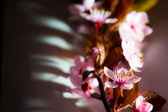Cherry Blossom Stockfoto