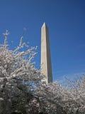 Cherry Blossom 005 Immagine Stock Libera da Diritti
