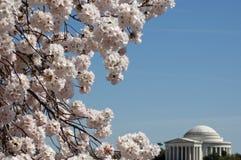 Cherry Blossom 027 Immagine Stock Libera da Diritti