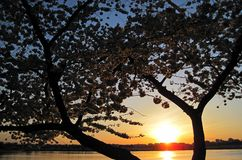 Cherry Blossom 118 Fotografie Stock Libere da Diritti
