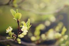 Cherry Blossom Immagini Stock