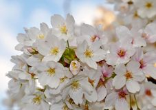 Cherry Blossom Photo libre de droits