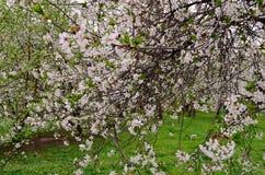 Cherry Blossom Images libres de droits