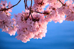Cherry Blossom Fotos de Stock Royalty Free