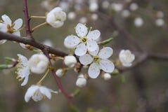 Cherry Blossom Imagenes de archivo