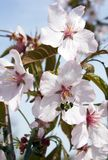 Cherry blossom. And bee against blue sky Stock Photography