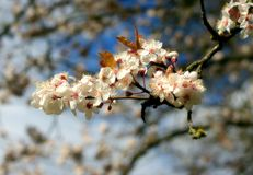Cherry blossom. Close-up of spring blossoms on an apple tree stock images