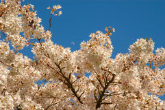 Cherry Blossom. Beautiful blossom of cherry trees in the spring Royalty Free Stock Photography