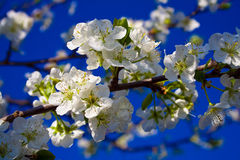 Cherry blossom. Picture of cherry blossom with blue backgroun Royalty Free Stock Photo