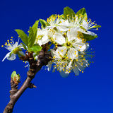 Cherry blossom. Picture of cherry blossom with blue backgroun Stock Image