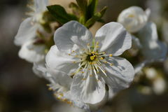 Cherry Blossom Stock Fotografie