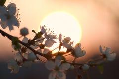 Cherry blossom. Cherry-plum blossom in sunset light stock image