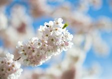 Cherry Blossom. Flowers with a blue background Stock Photo