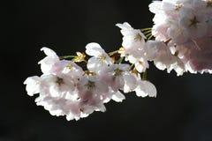 Cherry Blossom. With a dark background Stock Photos