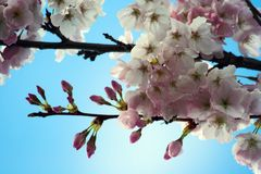 Cherry Blossom. Flowers with a blue sky background Royalty Free Stock Photography