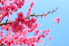 Cherry Blossom Fotografie Stock Libere da Diritti