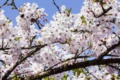 Cherry Blossom fotografía de archivo libre de regalías