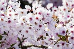 Cherry Blossom imagen de archivo libre de regalías