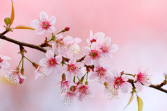Cherry Blossom Photo libre de droits