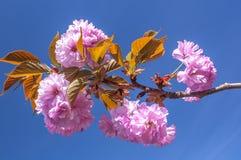 Cherry Blossom Royalty-vrije Stock Afbeelding