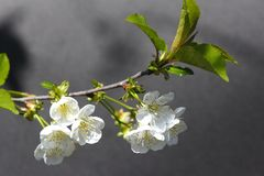 Cherry blossom. On tree stock image