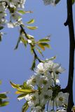 Cherry blossom. On tree stock images