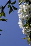 Cherry blossom. On tree stock photo