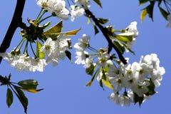 Cherry blossom. On tree stock photos