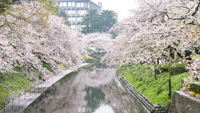 Cherry Blossom Foto de Stock Royalty Free