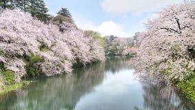 Cherry Blossom Fotos de Stock