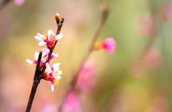 Cherry Blossom Lizenzfreie Stockbilder