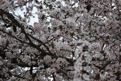 Cherry Blossom Stock Afbeelding