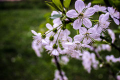 Cherry Blossom Photographie stock