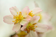 Cherry Blossom Stockbilder