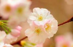 Cherry Blossom Lizenzfreie Stockfotografie