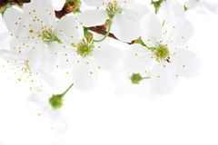 Cherry blossom. Isolated Stock Photography