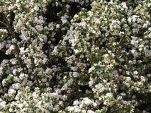 Cherry Blossom Foto de Stock