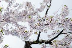 Cherry Blossom Stockfoto