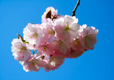 Cherry blossom. Lit by sunlight against blue sky background. Good for emotional content Stock Images
