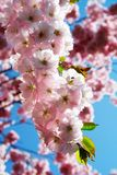 Cherry blossom. A blossoming branch of cherry tree Royalty Free Stock Photos
