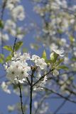 Cherry blossom. Cherry tree blossoming royalty free stock photo