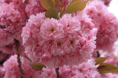 Cherry Blossom Stockbild