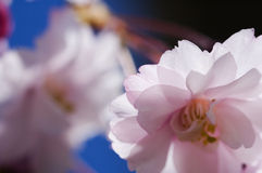 Cherry blossom. Backlit by sunshine royalty free stock image