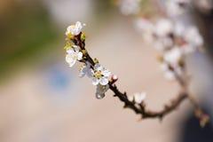 Cherry Blossom Foto de archivo