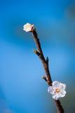 Cherry Blossom Fotos de archivo libres de regalías