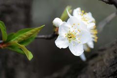 Cherry Blossom Imagem de Stock Royalty Free