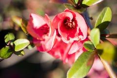 Cherry Blossom Fotografia Stock Libera da Diritti